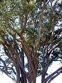 Eucalyptus acmenoides Eastwood.JPG