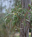 Eucalyptus gregsoniana leaves.jpg