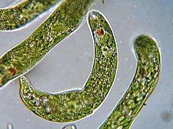 Euglena.