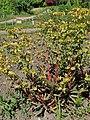 Euphorbia amygdaloides 'Purpurea' kz01.jpg