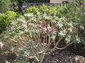 Euphorbia bravoana.jpg