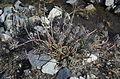 Euphorbia characias (4386817225).jpg