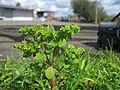 Euphorbia peplus plant2 (15243072951).jpg