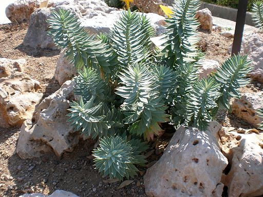 Euphorbia rigida 1c