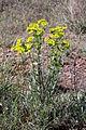 Euphorbia serrata (15298199729).jpg