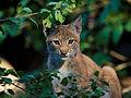 Eurasian lynx (Lynx lynx).jpeg
