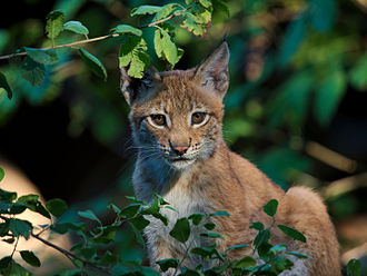 Central Mountain Range (Albania) - The Eurasian lynx can be found in the central range.