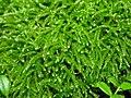 Eurhynchium sp.jpg