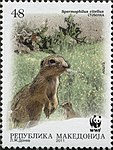 European Ground Squirrel (Spermophilius citellus) 2.jpg