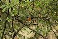 European Robin - Erithacus rubecula (30176792787).jpg