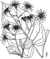 Eurybia macrophylla BB-1913-2.png