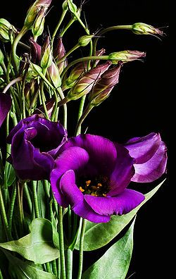 Eustoma grandiflorum purple 02.jpg