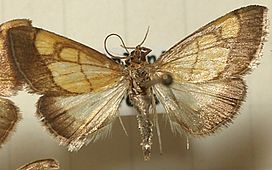 Evergestis.limbata.mounted.jpg