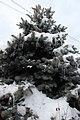 Evergreen in white IMG 1631 1 (8511293839).jpg