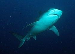 FGBNMS - Tiger Shark (28132680043).jpg