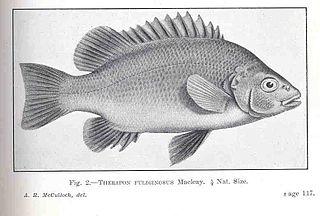 Sooty grunter Species of fish