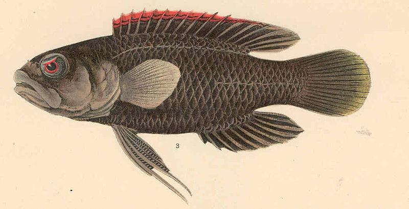 File:FMIB 39766 Pharopteryx melas (Bleeker).jpeg