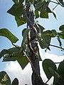 Fabales - Phaseolus vulgaris - 11.jpg