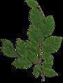 Fagus foliage.png