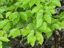Fagus japonica 03 cropped.jpg