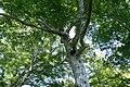 Fagus japonica 07.jpg