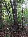 Fagus sylvatica (Beuk), Nieuw Leeuwenhorst, Noordwijkerhout v2.jpg