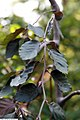 Fagus sylvatica Purple Fountain 2zz.jpg