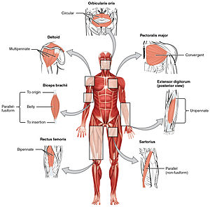 Anatomical terms of muscle - The seven general types of skeletal muscle
