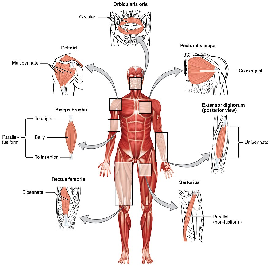 Anatomical Terminology The Reader Wiki Reader View Of