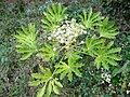 Fatsia japonica.002 - Zapateira.jpg