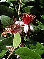 Feijoa sellowiana in fiore.JPG
