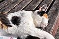 Felis silvestris catus - Rapperswil Duftrosengarten 2011-10-23 15-28-28.jpg