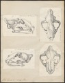 Felis tigris - 1700-1880 - Print - Iconographia Zoologica - Special Collections University of Amsterdam - UBA01 IZ22100109.tif