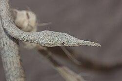 Female Langaha madagascariensis.jpg