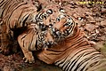 Female Tigress named Kuhani with cubs.jpg
