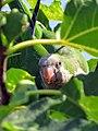 Feral Monk Parakeet in Athens.jpg