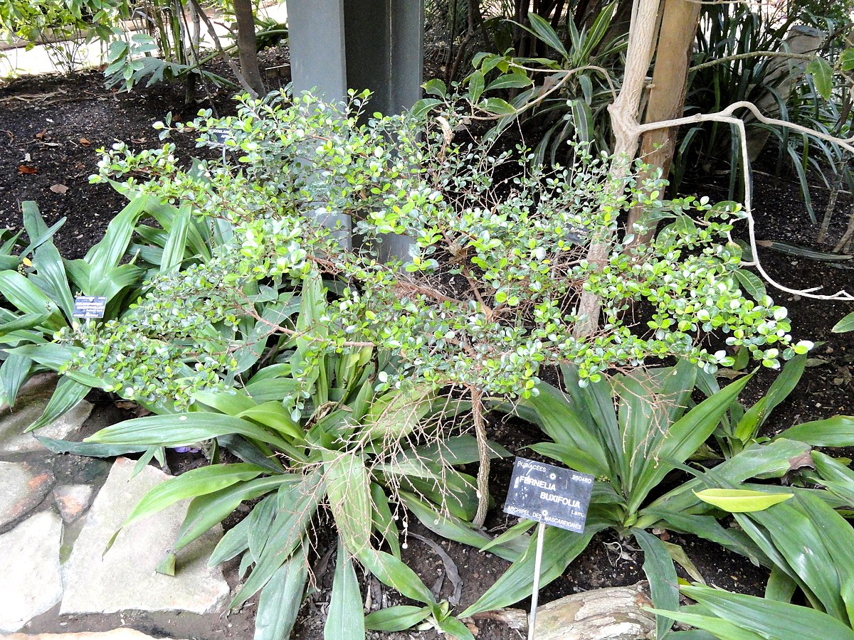 Fernelia buxifolia wikipedia for Bal des citrouilles jardin botanique