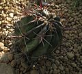 Ferocactus emoryi Fishhook Cactus.JPG