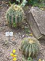 Ferocactus glaucescens in Vienna Botanical Garden.jpg