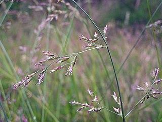 Kostrava lúčna (Festuca pratensis)