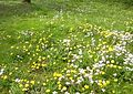 Feuchte Frühjahrswiese im Elstertal.jpg