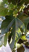 Ficus carica - Fig leaf.jpg