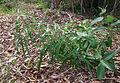 Ficus coronata juvenile foliage.jpg