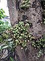 Ficus sp 3.jpg