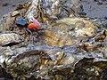 Fiddler Crab on barnacle.jpg