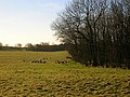 Field of Sheep - geograph.org.uk - 295397.jpg