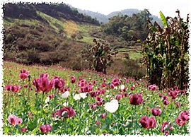 Field of opium.jpg