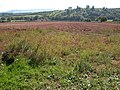 Field of potatoes in the Monnow valley - geograph.org.uk - 249174.jpg