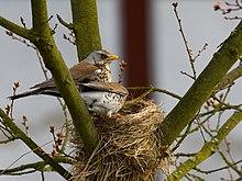 Les oiseaux et superstitions dans OISEAUX 220px-Fieldfare_2