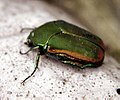 Figeater beetle.jpg